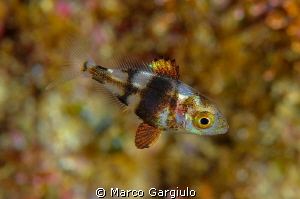 Puntazzo puntazzo juvenile by Marco Gargiulo 